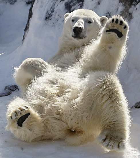 urso polar.jpg